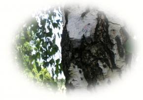 Пороки древесины. Часть 3